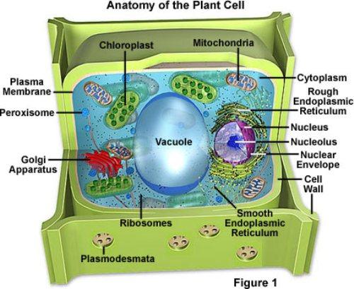 plantcell